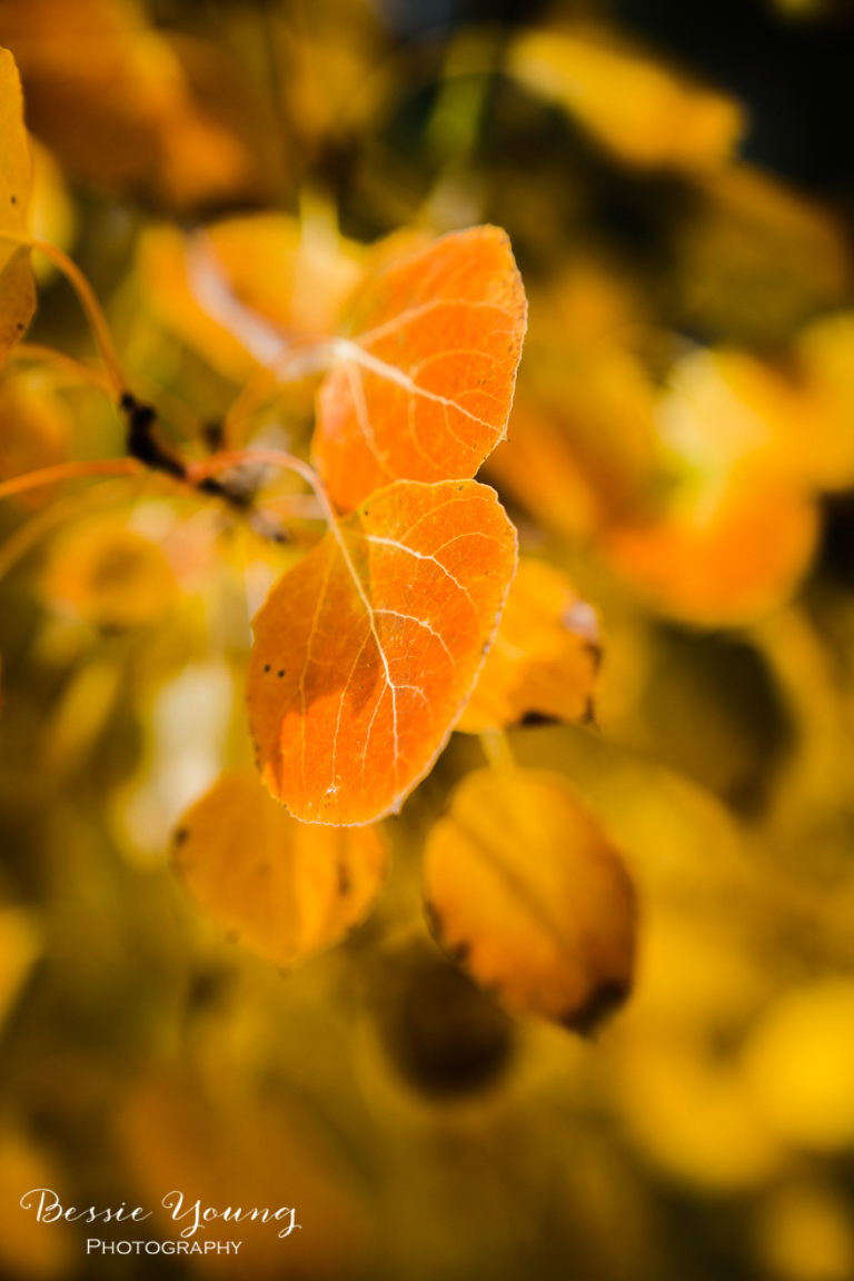Aspen Leaves by Bessie Young Photography.jpg