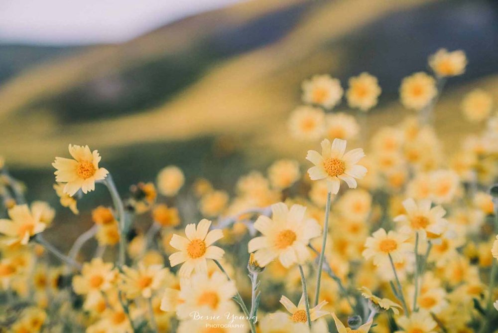Yellow Wildflower Photo- Carrizo Plains National Monument Superbloom 2019 by Bessie Young Photography