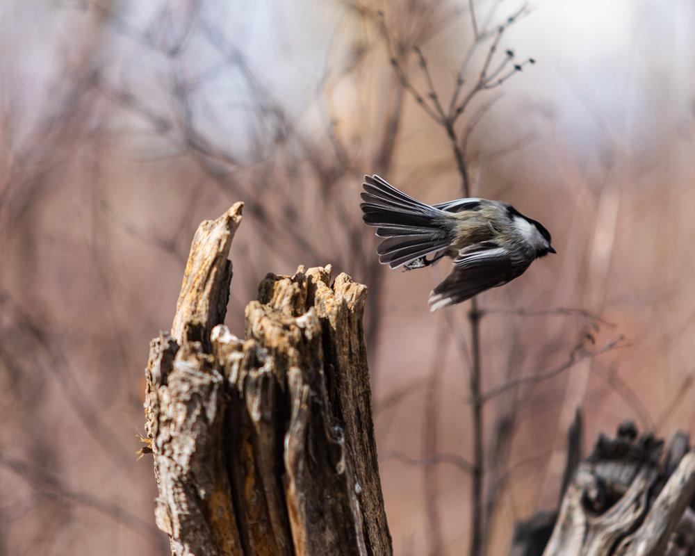 Black Capped Chickadee flying away!