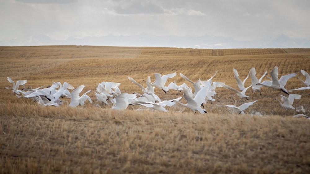 Migrating swans