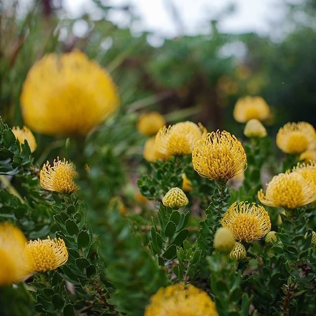Golden pincushion on an overcast day at Kirstenbosch. #pincushionprotea #nature #plant #delicate