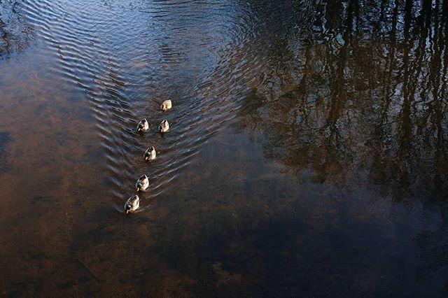 Mallard ducks en route in Brantome. #brantome #dordogne #aquitaine #mallardducks