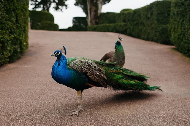 The resident peacocks at the Marqueyssac gardens in the Dordogne Department. #marqueyssac #marqueyssacgardens #peacocks #dordogne #aquitaine #glowing #france #explore