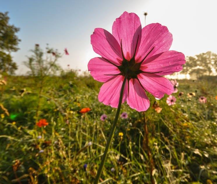 field-meadow-flower-pink.jpg