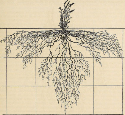 "Image    from page 118 of ""The ecological relations of roots"" (1919)   by Internet Archive Book Images (public domain)"