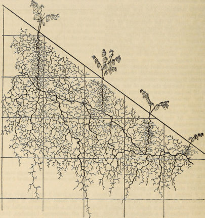"Image    from page 109 of ""The ecological relations of roots"" (1919)   by Internet Archive Book Images (public domain)"