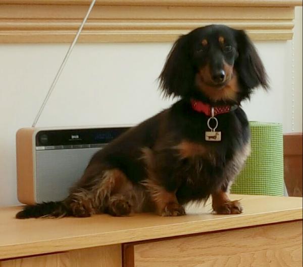 Dotty the dachshund - presumably listening to Radio Four