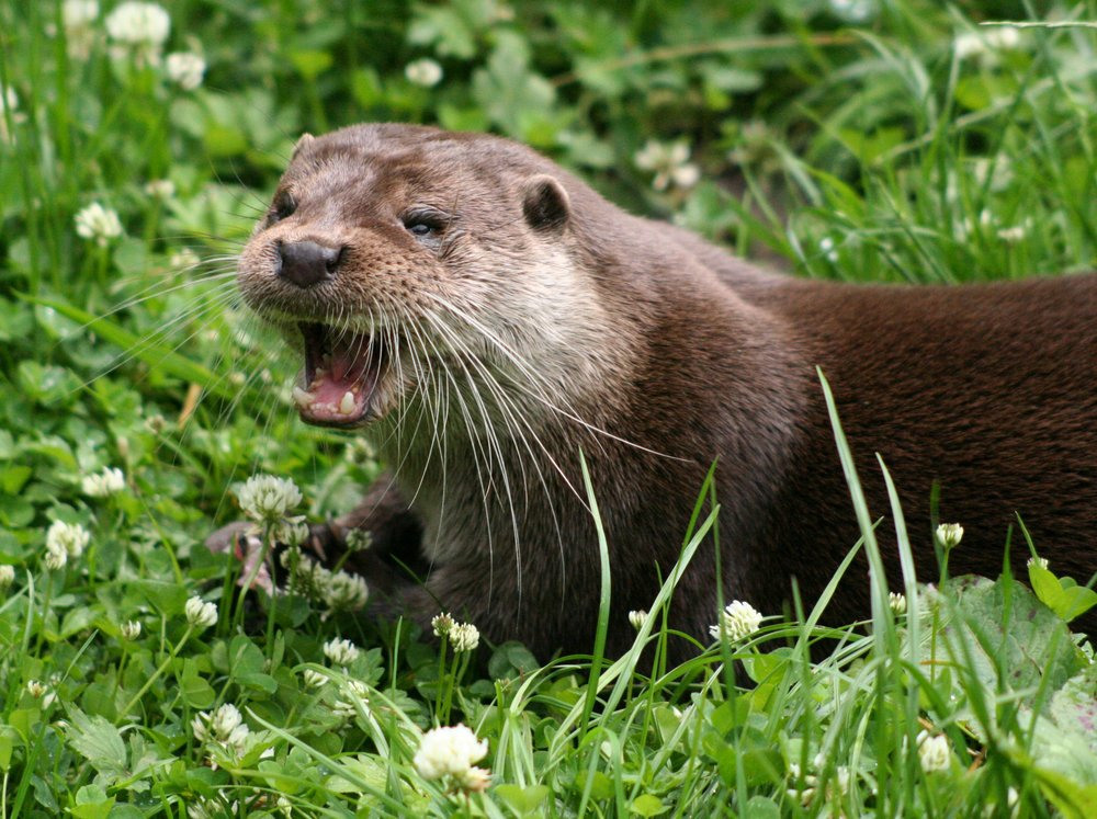 Otter image from Wikipedia