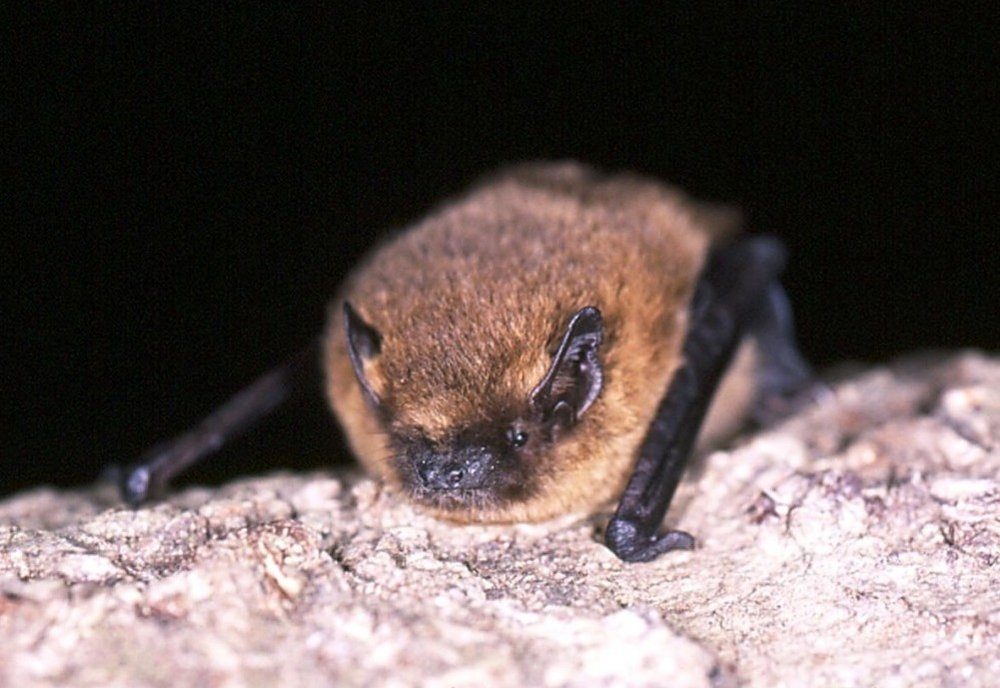 Common Pipistrelle Image by Hugh Clark