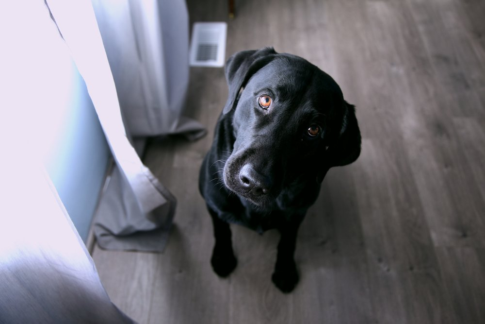 [Image description: A black Labrador dog is looking inquisitively at the camera.]