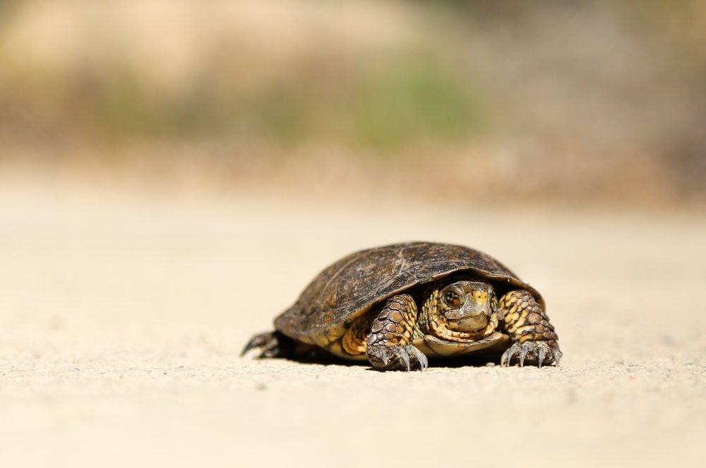Tortoise walking slowly on beach