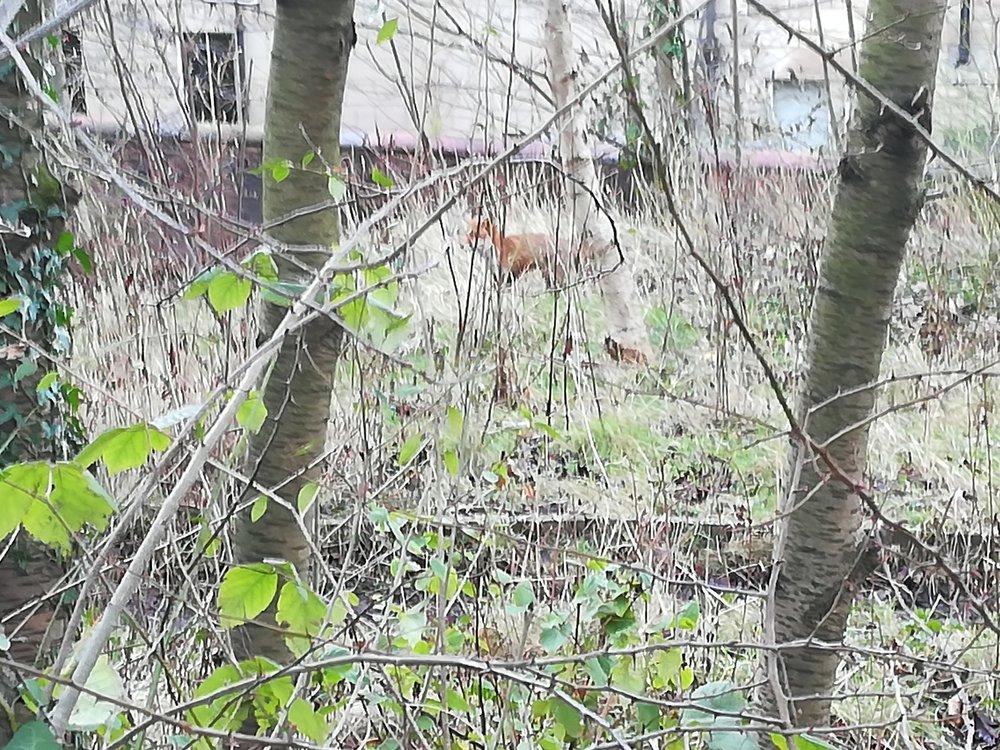 Fox through the trees in the wildlife garden