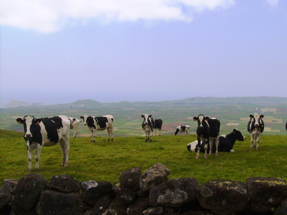 Cows in pasture in Serra do Cume