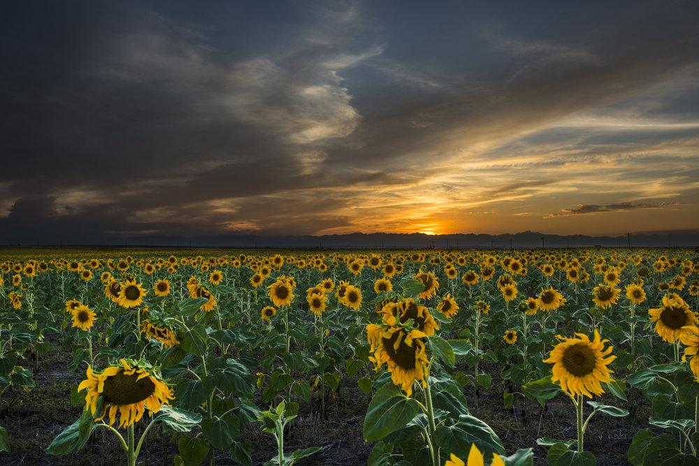 Sun Flower Field Sunset Final.jpg