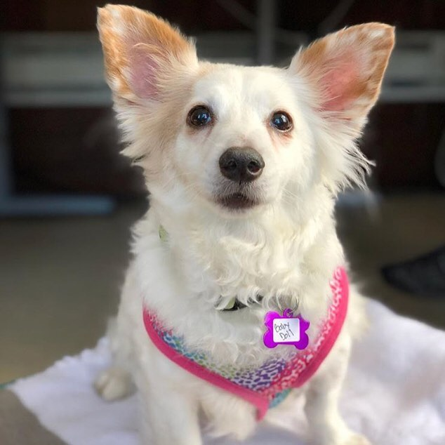 Stop by SBCo. from 3-5pm on Valentine's Day and cuddle with the adorable dogs from @muttvillesf 🐶 Muttville is a senior dog rescue that helps elderly and disabled dogs throughout the Bay Area find their forever homes 🏠 We ❤️ them!