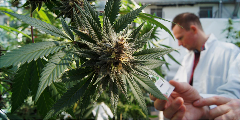 Search For Jobs In The California Cannabis Industry Today - Apply Today