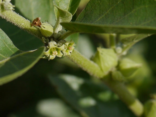 Although the berries and leaves can be consumed, typically the root of ashwagandha is used for adaptogenic purposes.