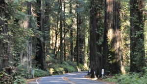 redwoods-california.JPG