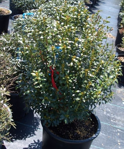 Evergreen shrub in a plastic container at a nursery.