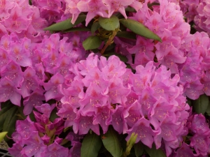 Rhododendrons benefit from liquid fertilizer applications containing trace elements.