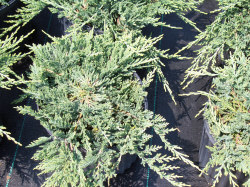 Blue Rug Juniper - Juniperus horizontalis 'Wiltonii'Silver-blue foliage all year, Full sun, Growth to 6