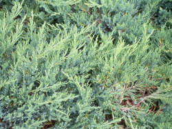 Broadmoor Juniper - Juniperus sabina 'Broadmoor'Bright green foliage all year, Full sun, Growth to 36