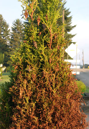 "Notice the ""bags"" on this arborvitae. Bagworms lose their camouflage and become much more noticeable as these bags turn brown. Unchecked infestations will lead to rapid plant demise."