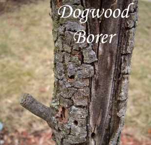 "DOGWOOD BORER    Dogwood borer is the most significant pest of Flowering Dogwood (Cornus florida). Dogwoods planted in full sun are much more likely to be attacked by dogwood borer than those planted in partial shade, due to the tree's increased stress level. Avoid damaging trunks with weed whackers and lawnmowers. Adults emerge in late May. Notice the ""drilled holes"" in the photo."