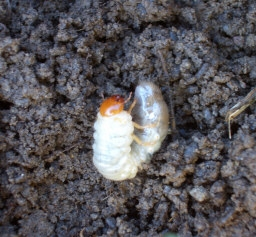 "GRUBS    ""C-shaped"" Japanese Beetle grubs can cause extensive lawn damage by chewing off grass roots. The many different types of soil grubs are identified by the pattern of hairs on their rear ends which are known as ""rasters."""