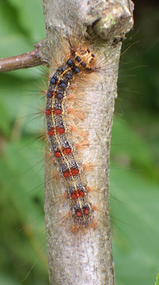 "GYPSY MOTH    Easily identified by its double row of red and blue dots, this caterpillar is one of the most destructive forest pests in the US, defoliating trees (Oak & Aspen are favorites). Biological controls Bt and ""Gypchek"" are used for control."