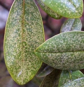 LACE BUG  Speckled leaves on PJM Rhododendron (photo above), Azaleas and Pieris are usually a sign of Lace Bug damage.