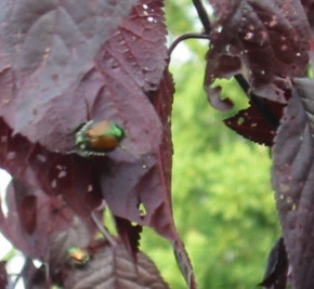 "JAPANESE BEETLES  The adults usually appear around the 4th of July and ""skeletonize"" the leaves of plants. Purple plums (photo) are one of their favorites. The larval stage is known for the damage it causes to lawns by eating the roots off grass, causing large brown areas of turf, mostly in the fall and spring (see 'Grub' photos above). Chemical lawn treatments are timed for late-summer to early-fall when the grub is youngest and most vulnerable. Biological control: Milky Spore is effective again st Japanese Beetle grubs."