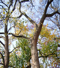 Osage Orange - Only the female trees bear the