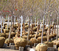 Deciduous B&B trees at a nursery in Spring