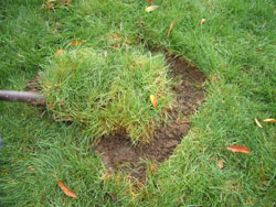 3. Remove the sod - If you have another spot in your lawn that needs some grass fill-in, remove the sod in easy to handle pieces with some soil left on the bottom. Otherwise, just strip off the grass (with all its roots that could grow again) and place it in a pile by itself for later composting.