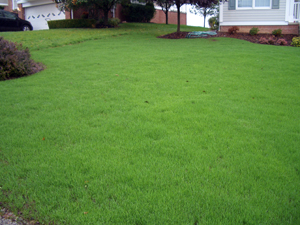 GOOD TIMING!    Grass is growing fast on this lawn renovated in early Autumn. See more at:  September is lawn month