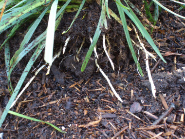Rhizomes - Spreading grasses such as Kentucky Bluegrass have white roots known as rhizomes. This type of spreading grass tends to produce thatch faster than a