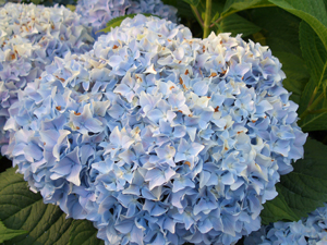 Hydrangeas are very popular.