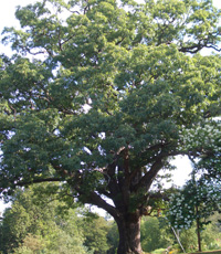 White Oak is top-rated with 100% in species value.