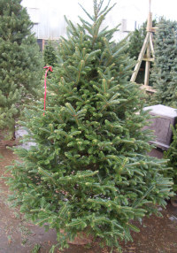 Fraser Fir   Abies fraseri