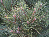 Scotch Pine foliage