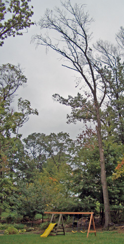 "Dead trees are known as ""widow makers"" due to the deadly threat of falling branches and increased risk of blow-over."