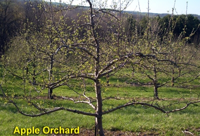 apple-orchard.jpg