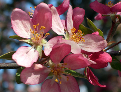 'Indian Summer' crabapple blossoms