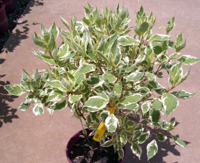 Redtwig Dogwood with variegated foliage