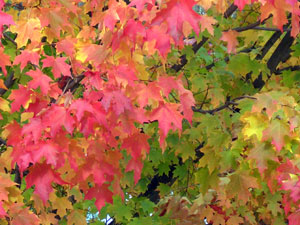Early fall color is a trouble sign in trees