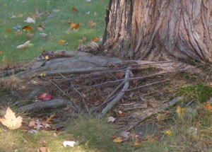 Girdling roots growing across the side of a Silver Maple tree trunk causing constriction