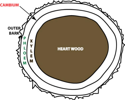 cross-section-trunk.jpg