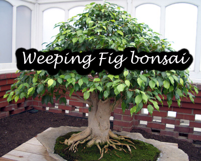 weeping-fig.jpg