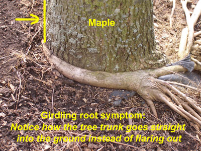 girdling-maple-root.jpg